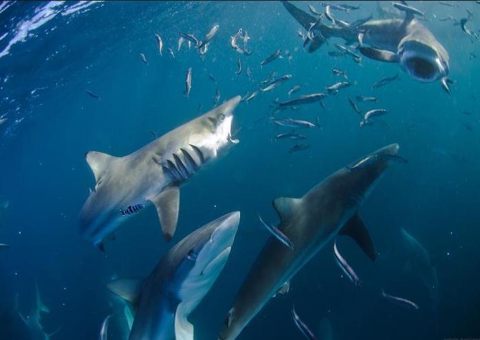 monde_requins