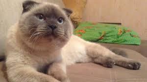 le chat Barsik