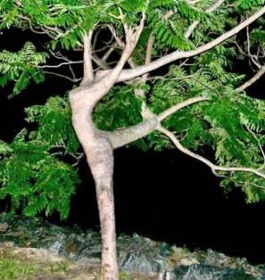 larbre-qui-danse